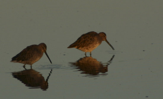 birds dowitcher lake BC Canada