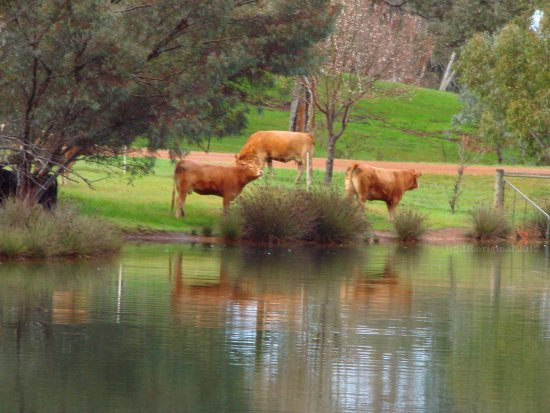 animals cow water morning senses nose air smell perth littleollie