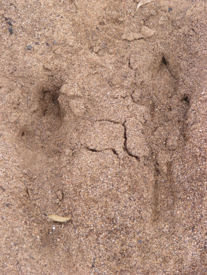 kangaroo footprints animals mammals
