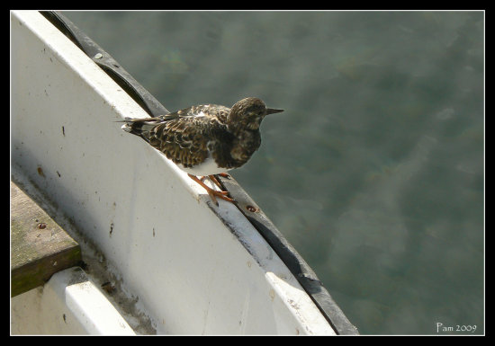 turnstone gull bird sea boat