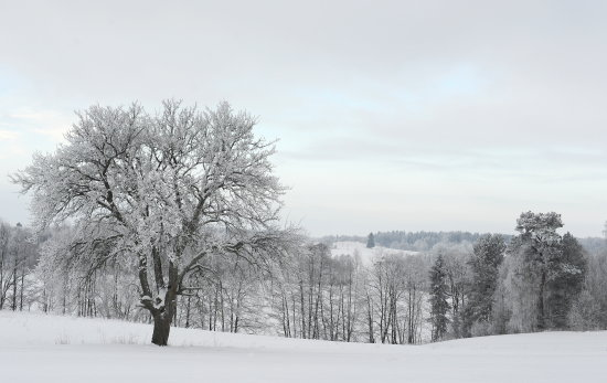 lithuanian winter tree