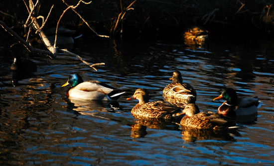 texas birds ducks