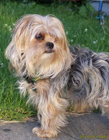shihtzu columbiamo dog daneboy yorkshireterrier love daniel elijah danny pet