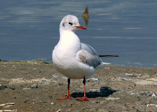 Birds Gull BlackHeadedGull Wildlife Nature Brownsea Dorset
