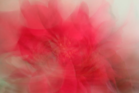 flower poinsettia motion abstract
