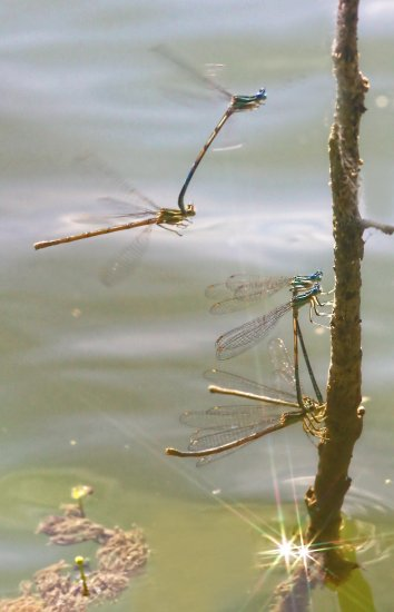 damselfly dragonfly macro nature animal