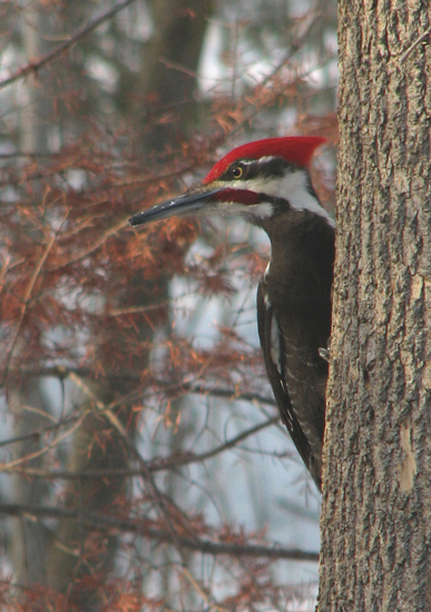 pileated woodpecker bird