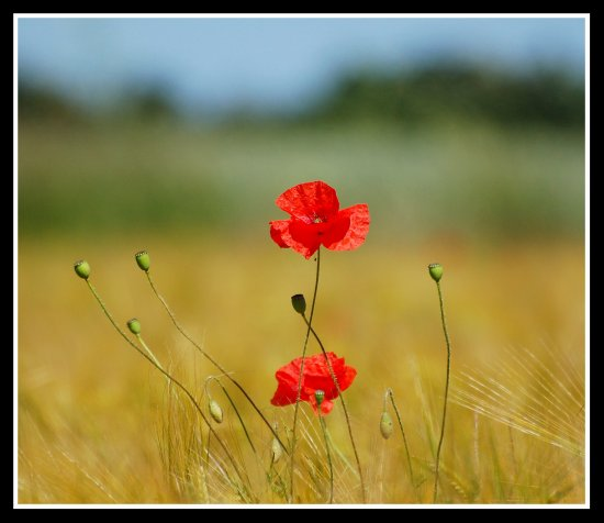 poppy poppies flowers field somerset nature somersetdreams hope