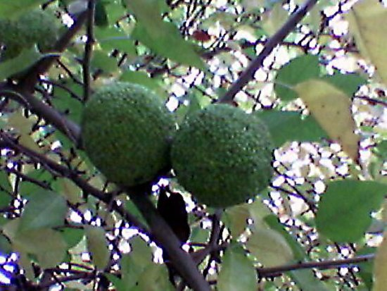 yesterday i found this fruit without a name ,maybe you know it ???