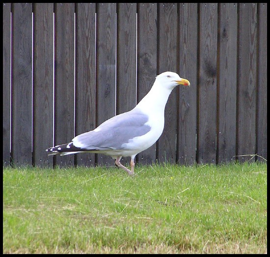 gull seagull bird