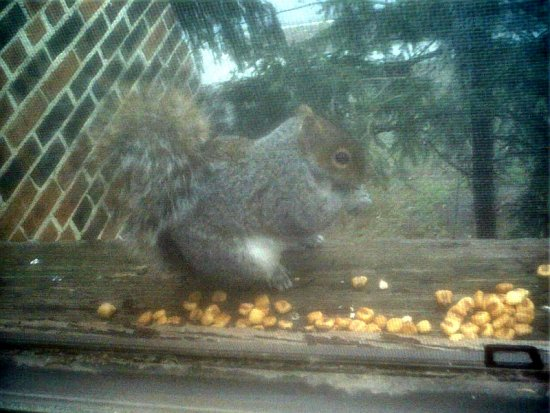 squirrel corn eating