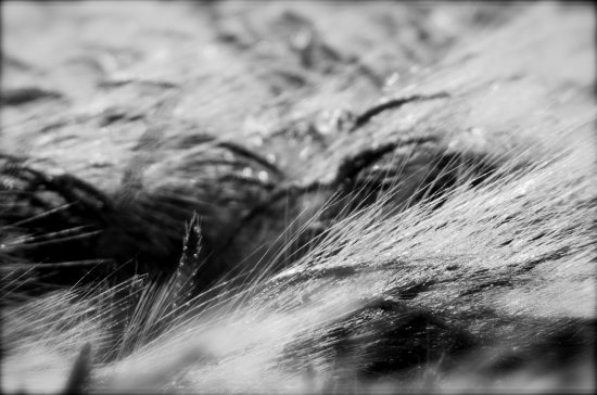 corn BW nature