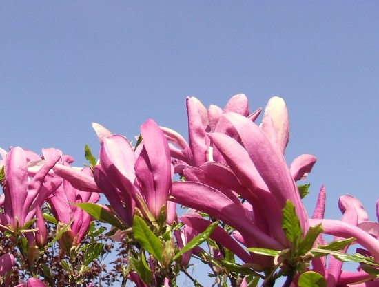 Spring New Life Magnolia Plants My Garden Rob Hickey 2011