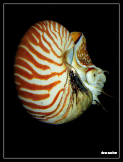 shellfish saffi9 sea monster nautilus