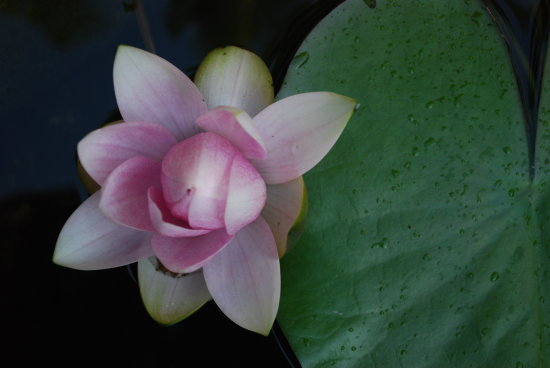 lonely lily in our pond