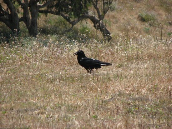 bird amra raven pointreyes