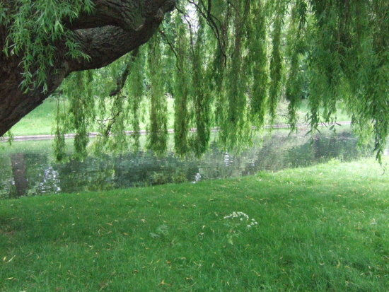 regents park london weeping willow