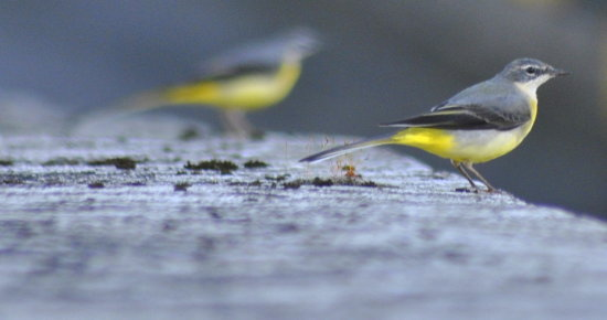 Birds grey wagtail nature