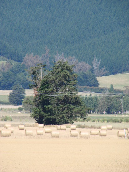archive hay bales pine trees south otago NZ littleollie