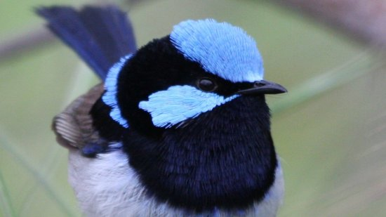 fairywren blue bird nature