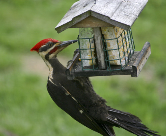 woodpecker bird yard pileated