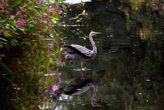 heron bird water reflectionthursday