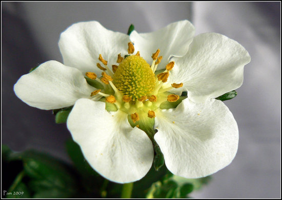 strawberry flower plant bloom