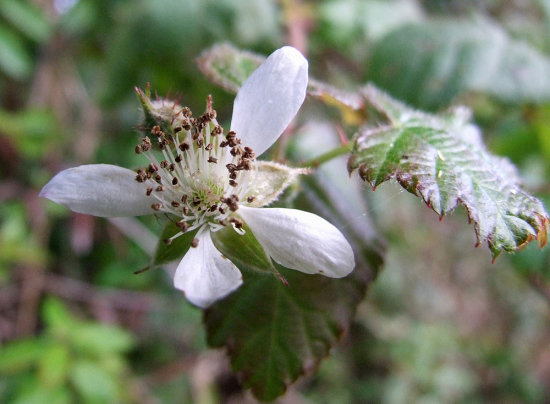 Coast Blackberry Flower, redeux