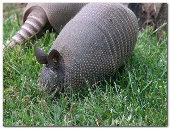 armadillo mammal nature animal