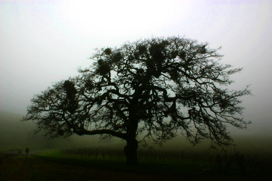 Oak California