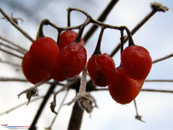 frost red fruit autumn