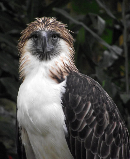 philippine eagle monkey eating eagle bird eagle