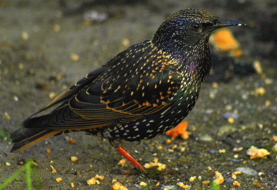 Starling birds wildlife