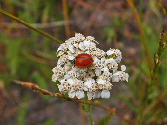 oakland park nature wildflower white spring may ladybug serpentinefph