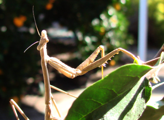 Insect Praying Mantis pose photo garden perth littleollie