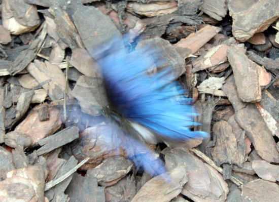 buterfly blue in motion