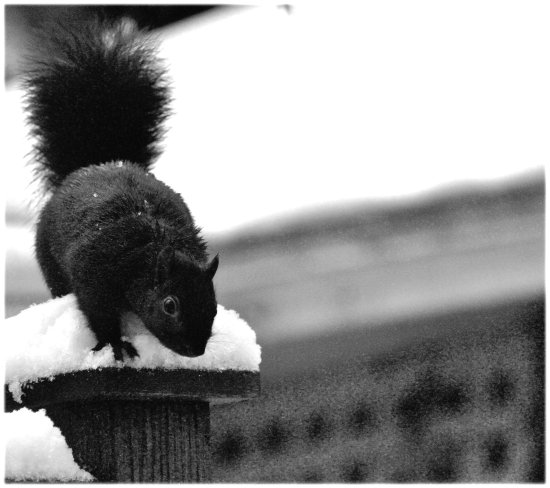 nature black squirel black white 2013