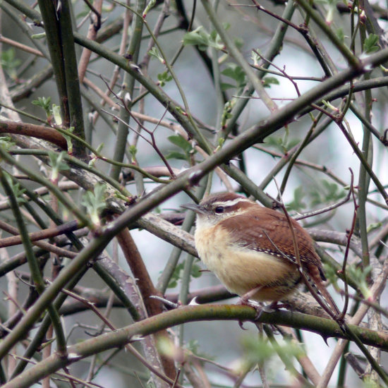 Carolina Wren It was a cold wet day at my favorite birding spot. He looks cold for sure, but it ...