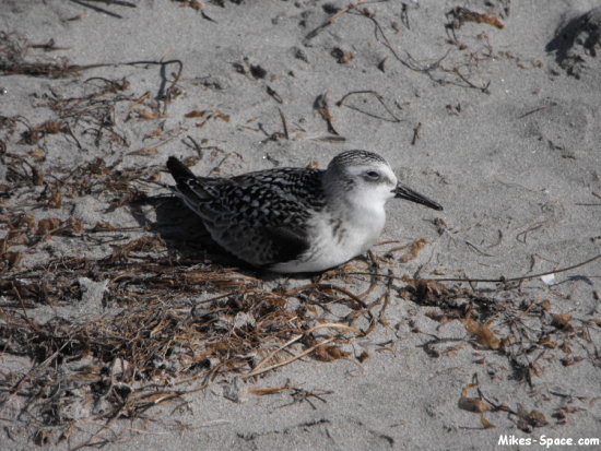 sanderling bird beach sand