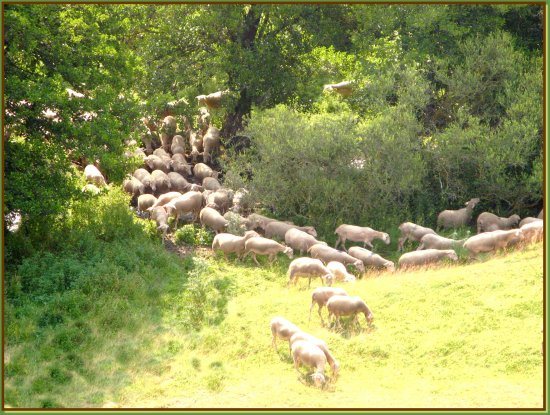 sheeps animals nature France summer river sun holidays trees country
