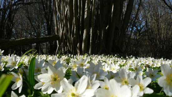 flower wood anemone spring parade