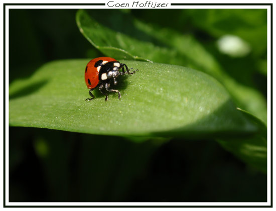 ladybird insect macro nature spring CH1988