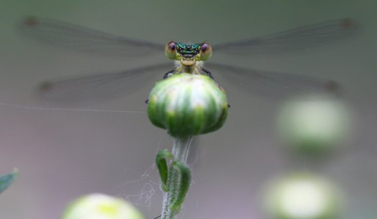 damselfly dragonfly macro nature animal green