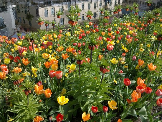 City Park Boras Sweden Tulips