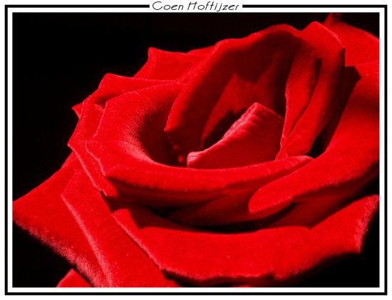 rose red love flower nature macro netherlands CH1988