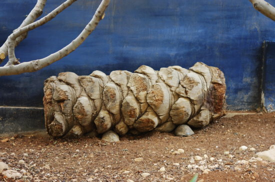 palm log fig blue turtles