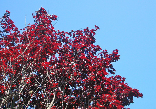 red redfph tree bluesky sky summer