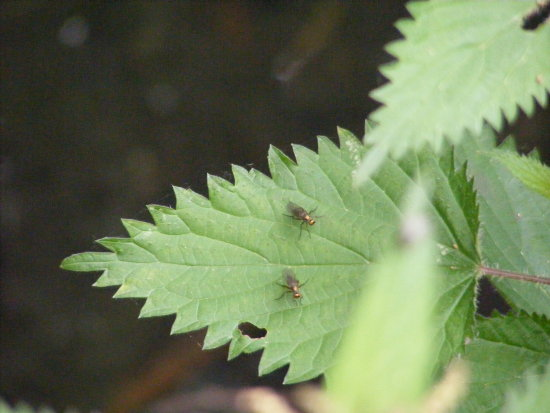 Nettles Flies Insects Green