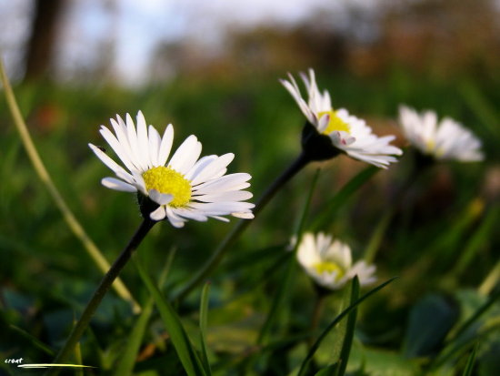 daisy flower grass autumn