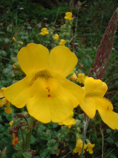Coast Monkey Flower
